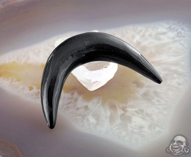 Black horn septum tusk (single) (extreme curve)